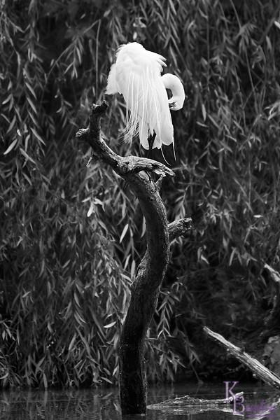 DSC_8301 great white egret_DxO
