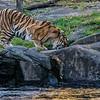 DSC_7246 Asian Tiger