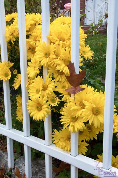 DSC_8600 daisy's in the fall
