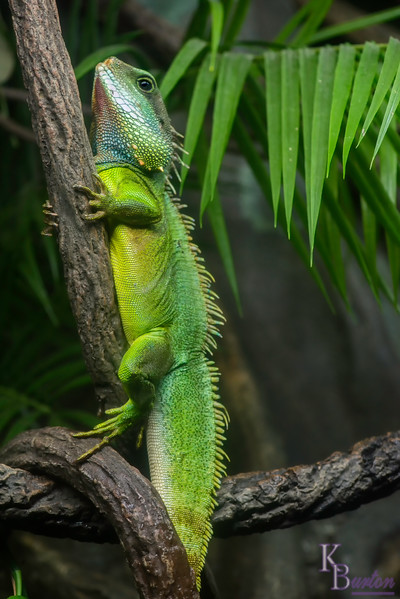 Chinese water dragons are startlingly colorful