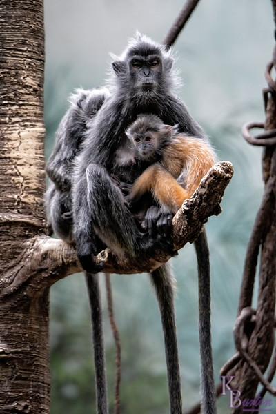 DSC_6084 probiscus monkeys