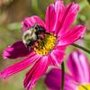 DSC_9040 bumble bee