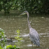 In addition to trying to capture more shots of jewel weed for my nature gallery, I was hoping to capture sots of animals hunting for food amidst the rain. This immature heron willingly complied.