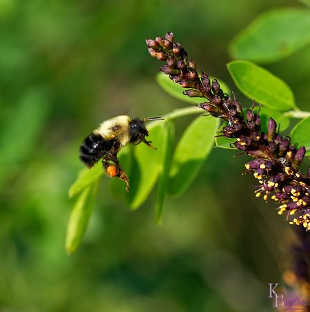 DSC_0491   bumble bee_DxO