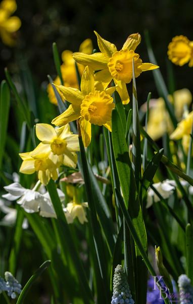 DSC_1206 daffodils