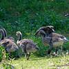 DSC_3712 goslings
