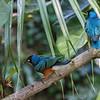 DSC_0356 - African glossy starling