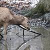 DSC_8511 Pere David's deer