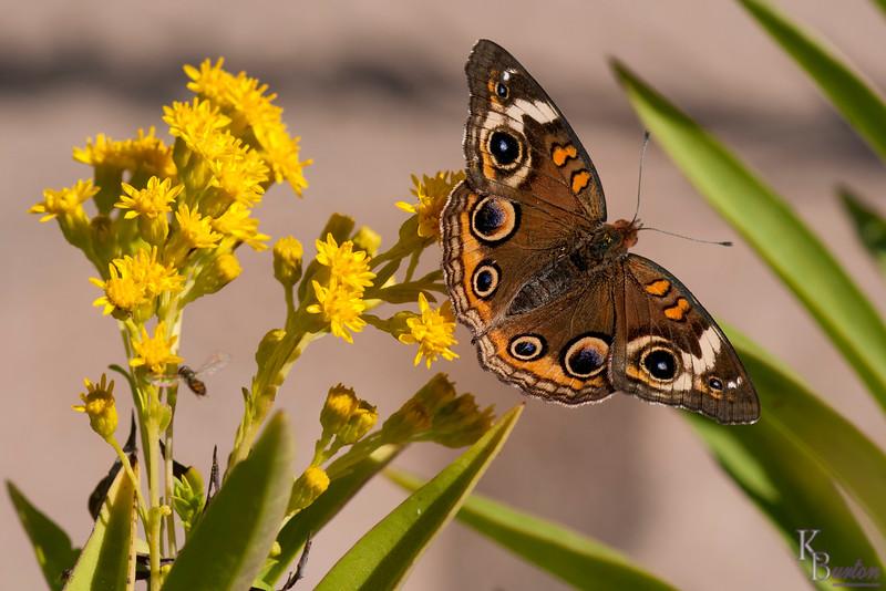 DSC_2554 the butterflies of New Dorp beach