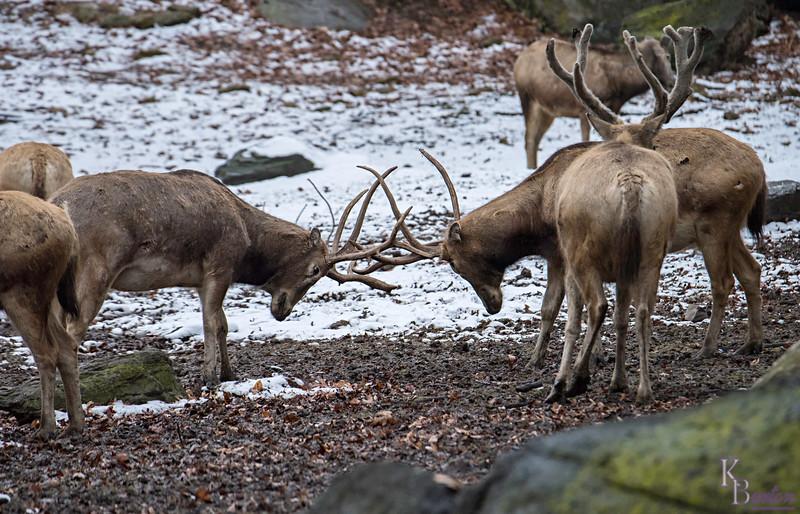 DSC_8606 Pere David's deer