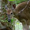 DSC_9054 deer me!_DxO