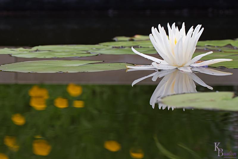 DSC_6756 water lilly_DxO
