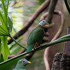 DSC_2819 fruit dove