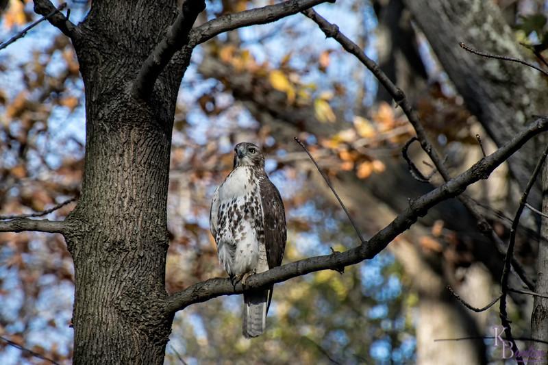 DSC_9266 red tailed hawk