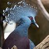DSC_2836 Victoria crowned pigeon