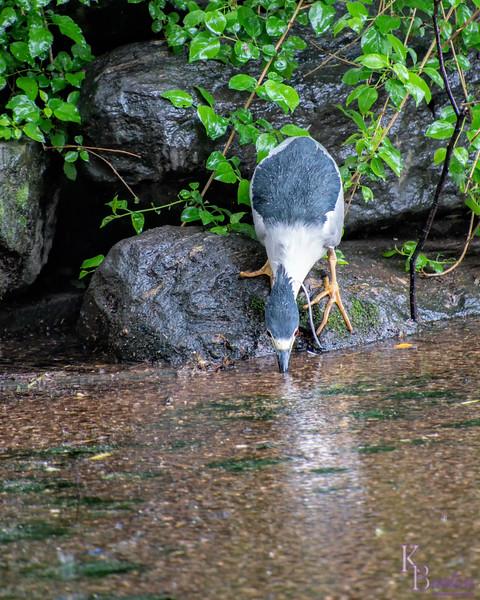 DSC_9128 night heron