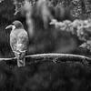 DSC_9748 Inca tern (TS)_DxO