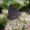 DSC_2307 Gray Hairstreak butterfly