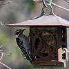 DSC_6411 backyard visitors_DxO