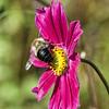 DSC_9048 bumble bee