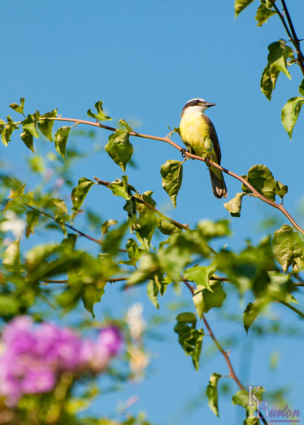 Turns out the singing from the birds that were hidden in the thick trees of Sherwin's nature reserve, were coming from  these guys. Kiskadee's aren't even special to the tropics. You can find them back here in the U.S. too.
