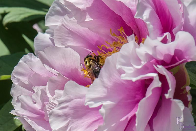 DSC_7751 pollenator