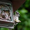 DSC_4427 downy woodpecker