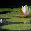 DSC_1856 waterlily