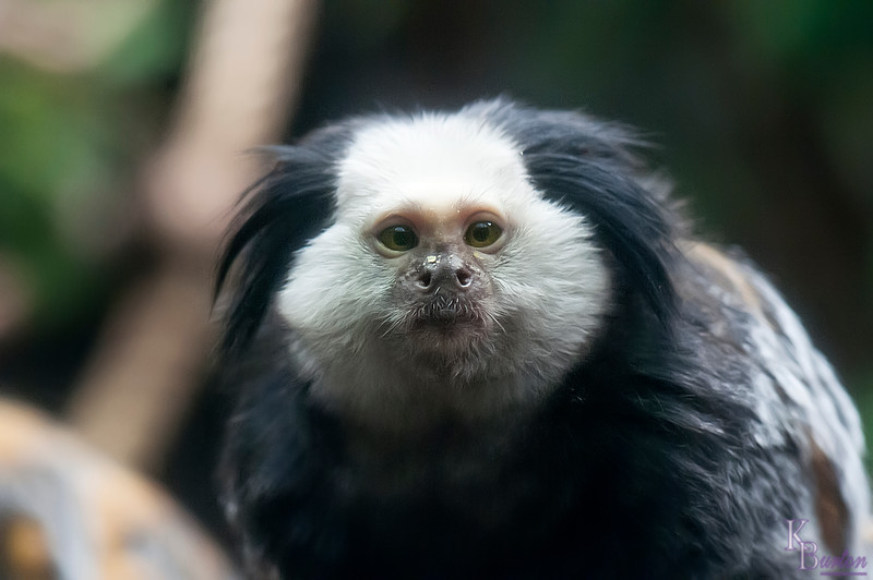 DSC_1128 Geoffery's marmoset