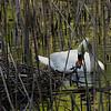 DSC_6526 swan's nest