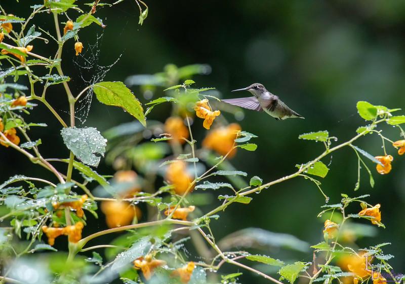 DSC_1295 hummingbird