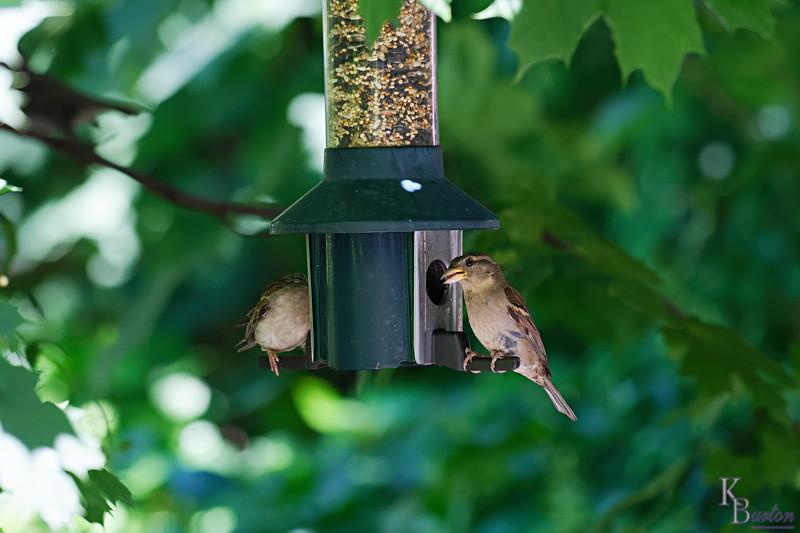 DSC_2864 female sparrow_DxO