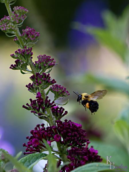 DSC_5275 bumble bee