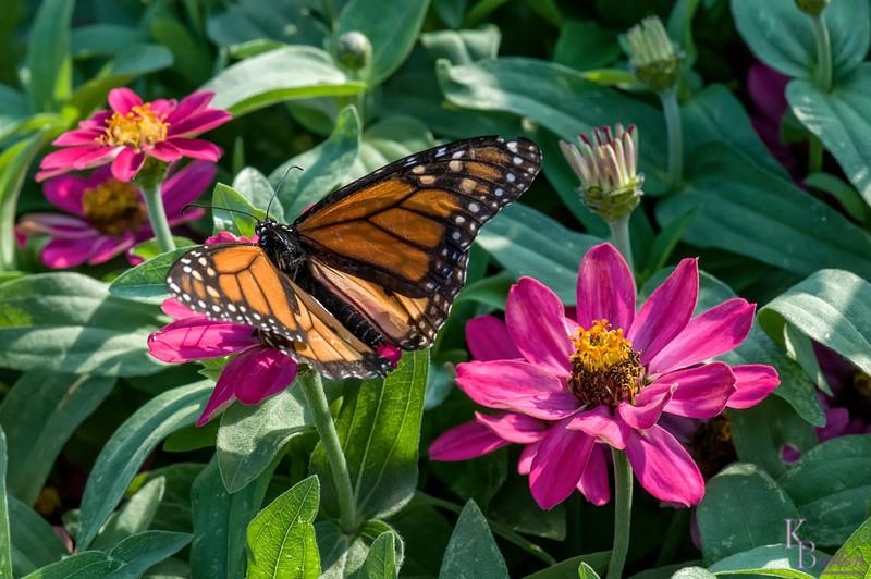 DSC_6272 monarch butterfly