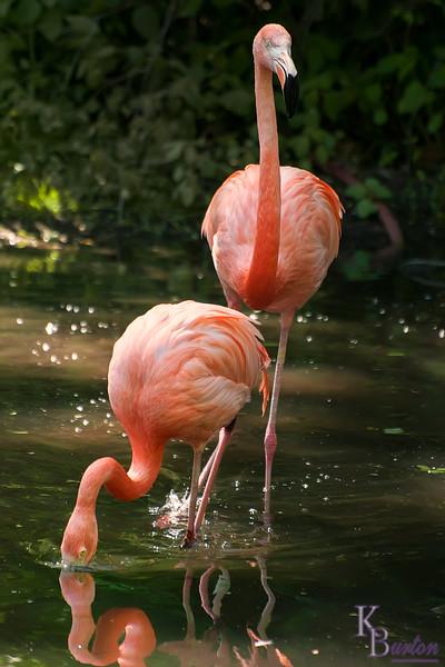 DSC_6968 flamingo's