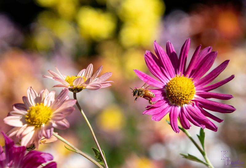 DSC_3000 honey bee