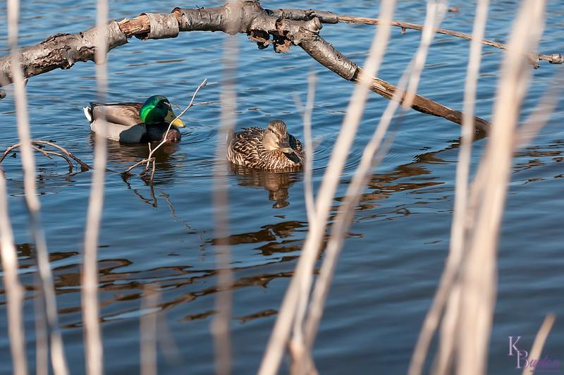 DSC_2381 mallards at Wolfe's pond