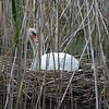 DSC_6448 swan's nest