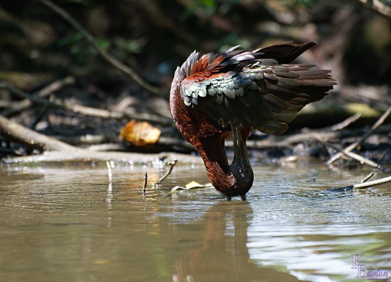 DSC_1107 scarlet ibis_DxO