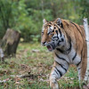 DSC_6692 asian tiger