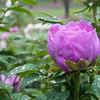 DSC_4483 rainy spring morning at the botanical gardens