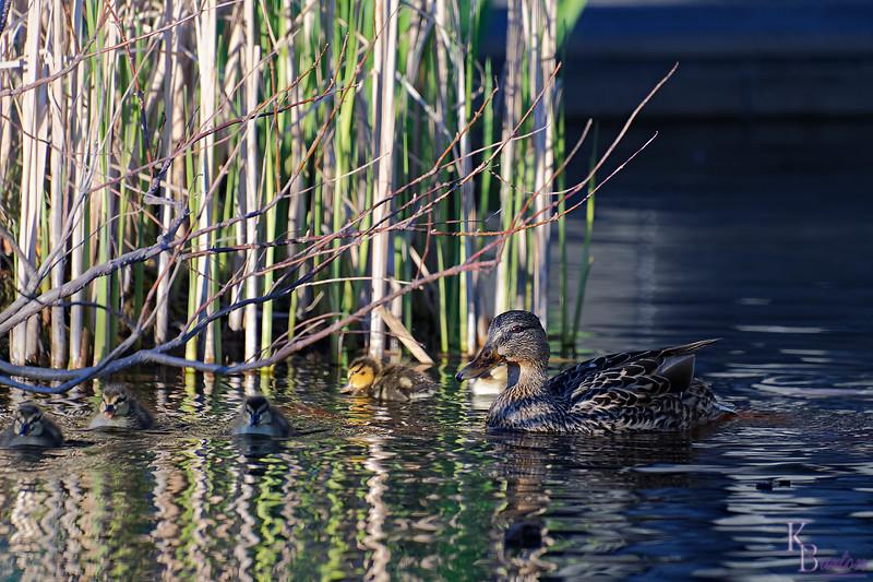DSC_9716 the ducks of BPC_DxO
