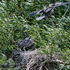 DSC_9144 Heron's nest