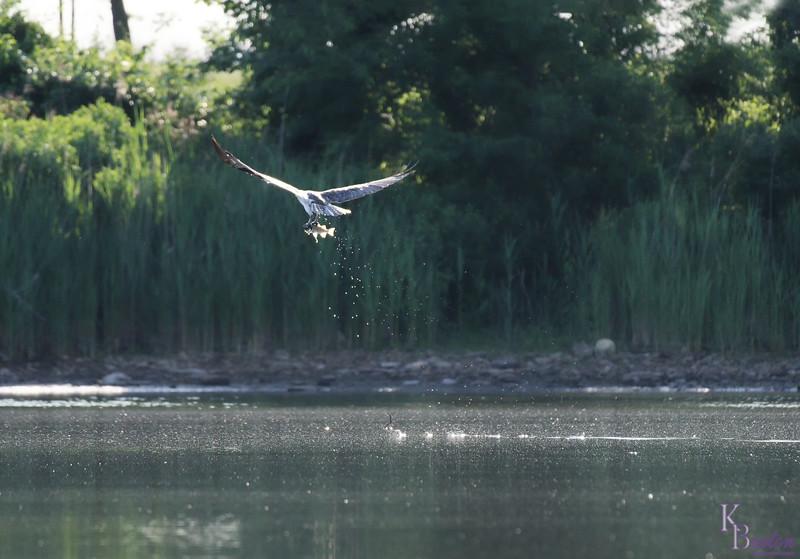 DSC_0285 osprey's on the hunt_DxO