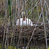 DSC_6475 swan's nest