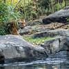 DSC_6718 asian tiger