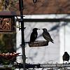 DSC_6556 backyard visitors_DxO