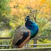 DSC_6745 male peacock