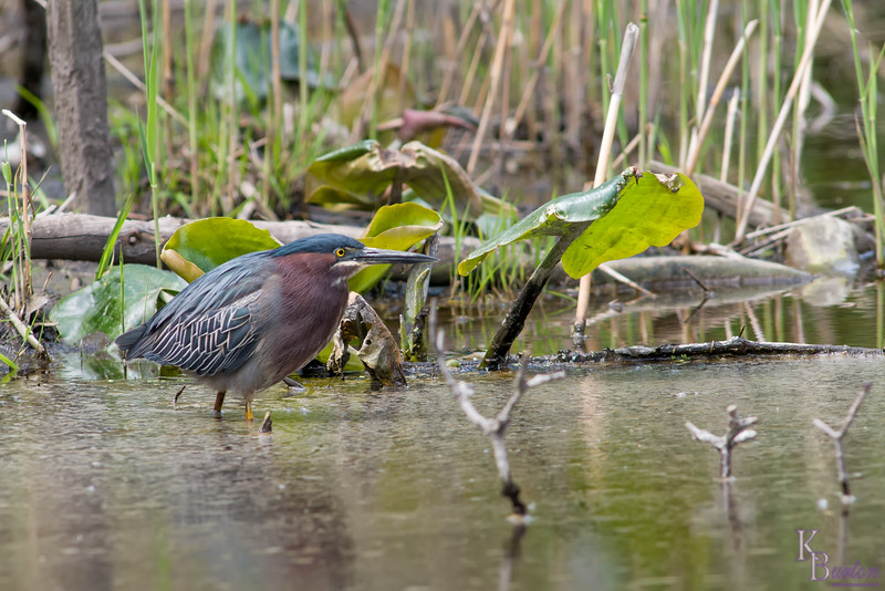 After 3 hours of him going in and out of my view the green heron finally moved on and i tried to get up off my knees. Despite wearing knee pads on both knees and the softness of the marsh, my left knee (I usually only get down on my right one when I take pictures low to the ground) was in so much pain, I fell back to the ground, and rolled around in pain, wondering how I was going to make it home. But for all the pain this 55 year old body endured, I new at least I was going to have a lot of nice shots to show for it.