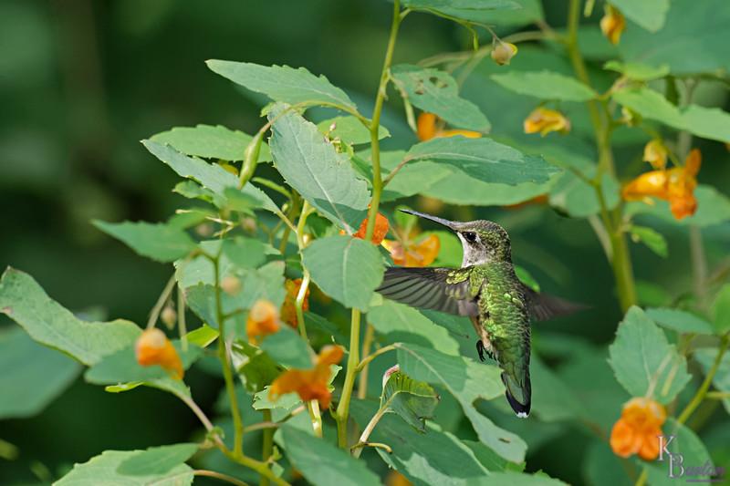 DSC_7880 the hummingbirds of Clove Lake_DxO